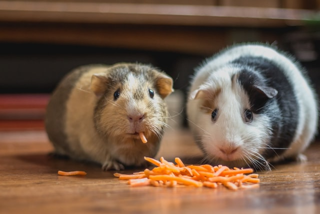 guinea pigs eating food from vet practice retail